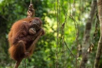 A four year-old female orangutan Malia hanging on a tree at Borneo Orangutan Survival (BOS) Foundation in Nyaru Menteng, Central Kalimantan. Malia was confiscated from a resident on June 20, 2016 in Palangka Raya, Central Kalimantan after the owner kept her for three years.